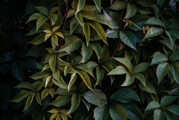 Feuilles vertes de fond naturel de vigne de raisins sauvages, mur vert recouvert de feuilles colorées