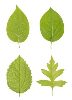 Les feuilles vertes de formes ordinaires intéressantes et classiques ressemblant au pommier, au chêne ou à l'érable et au jasmin sont isolées sur un fond blanc comme modèle ou motif pour une maquette ou des illustrations.