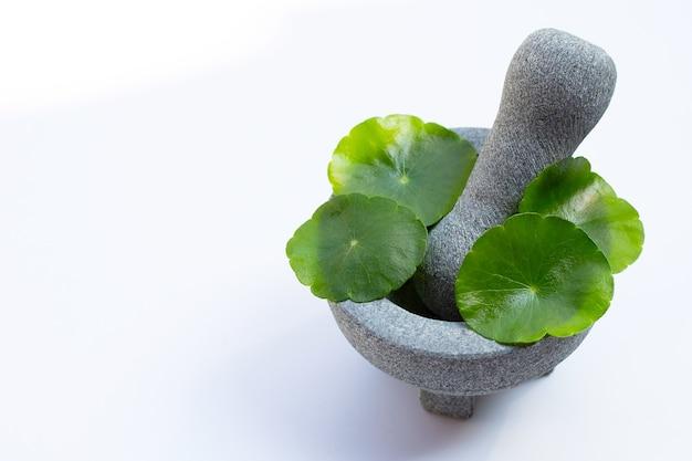 Feuilles vertes fraîches de centella asiatica ou plante d'hydrocotyle à eau dans un mortier avec un pilon sur fond blanc.