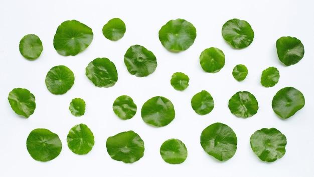 Feuilles vertes fraîches de centella asiatica ou plante de pennywort de l'eau sur blanc.