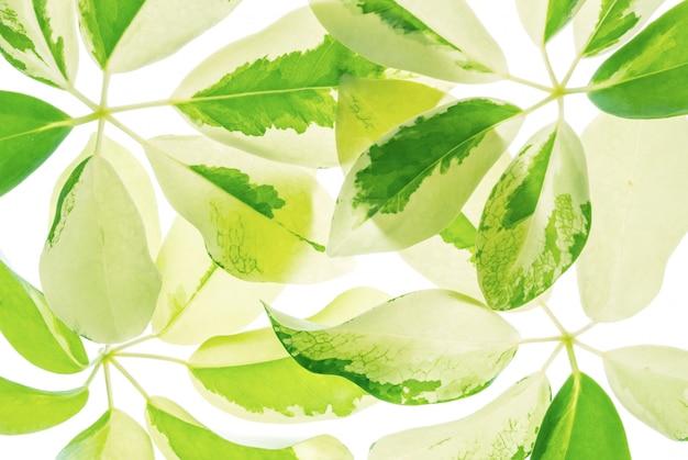 Feuilles vertes fraîches isolés sur fond blanc