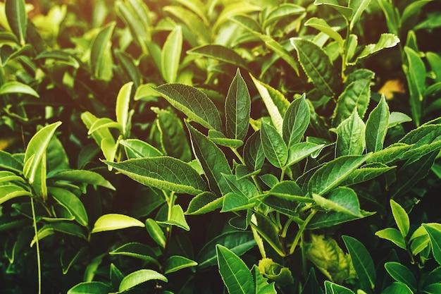 Feuilles vertes fraîches de thé. plantations de thé. sotchi russie