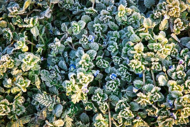 Feuilles vertes gelées et fleurs bleues d'une plante en hiver