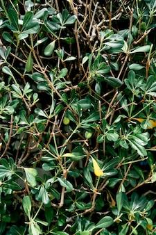 Feuilles vertes d'un gros plan de buisson de busserole