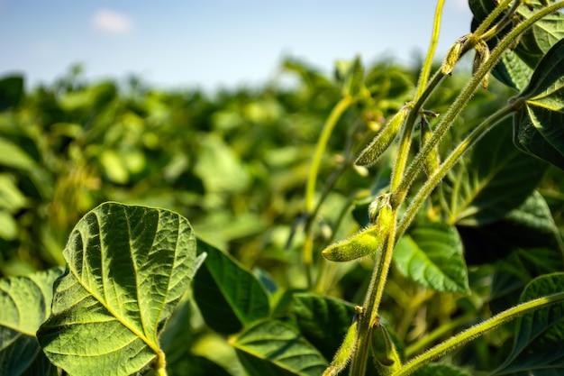Feuilles vertes et haricots de jeune soja dans le domaine.