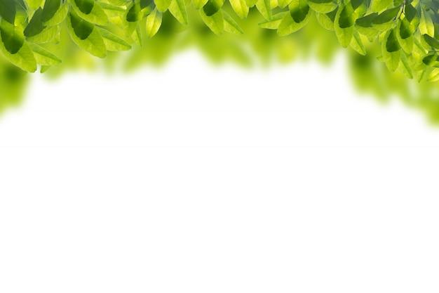 Feuilles vertes en isolé sur fond blanc