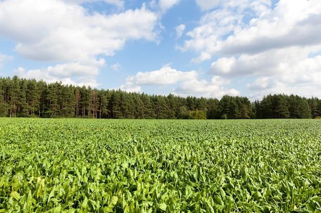 Feuilles vertes de jeunes betteraves sur le terrain, paysage d'été