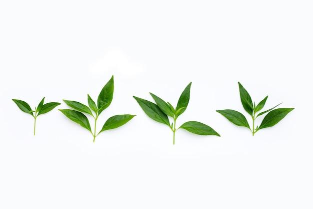 Feuilles vertes de kariyat ou d'andrographis paniculata dans des boîtes de pétri sur le blanc
