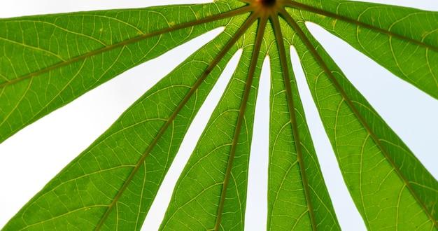 Feuilles vertes de manioc (manihot esculenta), communément appelées manioc de manioc, ou yuca, en mise au point peu profonde. il peut être utilisé pour les légumes