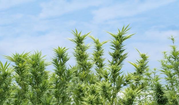 Feuilles vertes de marijuana ou de cannabis sur fond de ciel bleu, herbes pour un traitement alternatif.