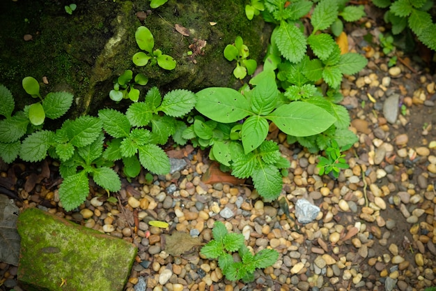 Feuilles vertes ou mauvaises herbes qui poussent autour des roches avec de la mousse.