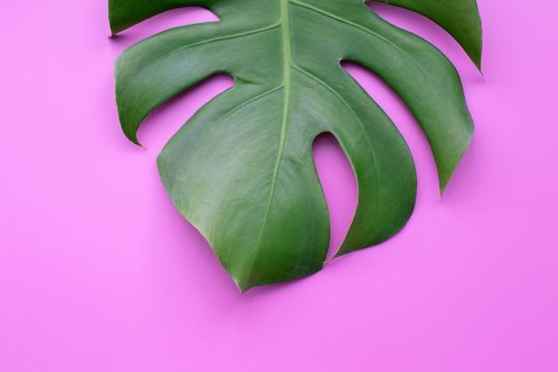 Feuilles vertes de monstera ou feuille fendue sur fond de couleur.