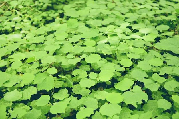 Feuilles vertes naturelles modèle sombre feuille belle dans la jungle de la forêt tropicale