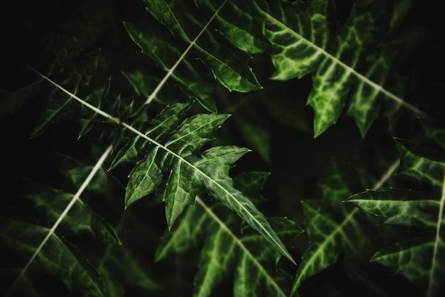 Feuilles vertes naturelles modèle sombre feuille belle dans la jungle des plantes de la forêt tropicale