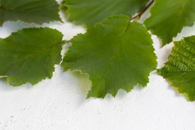 Feuilles vertes de noisettes sur fond clair. arrière-plans et textures.
