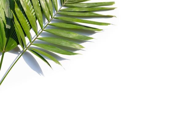 Feuilles vertes de palmier sur fond blanc.