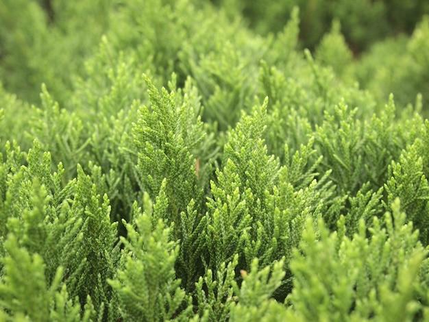 Feuilles vertes de pin dans le jardin