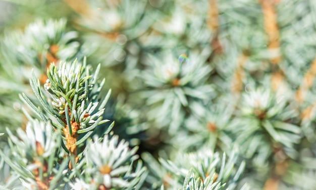 Feuilles vertes de plan rapproché de conifère à feuilles persistantes décoratives épinette canadienne picea glauca avec des baisses