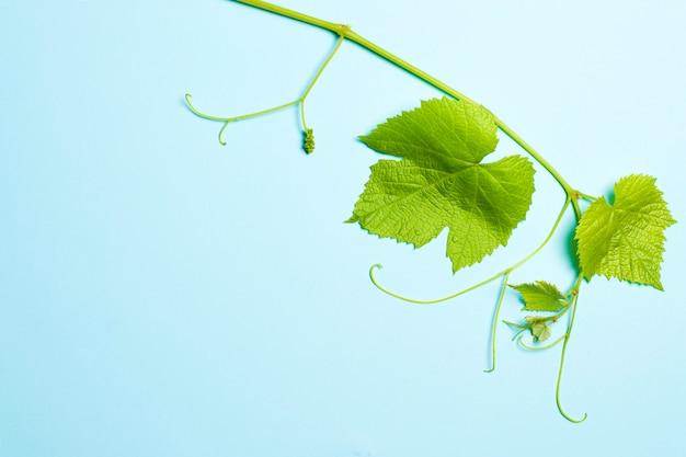 Feuilles vertes de raisins sur bleu