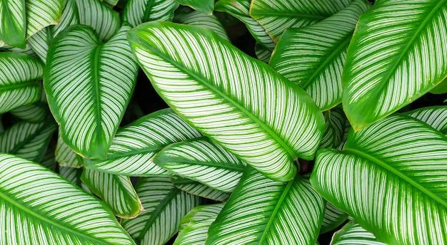 Feuilles vertes à rayures blanches de calathea majestica