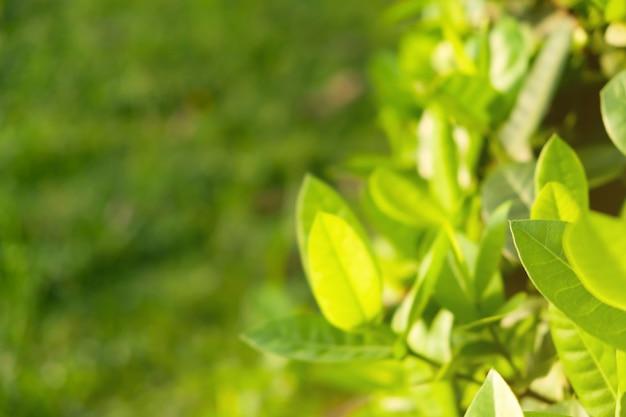 Les feuilles vertes sont le fond.