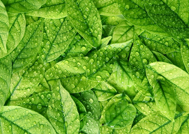 Feuilles vertes texture fond avec gouttes d'eau de pluie