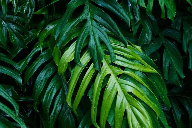 Feuilles vertes tropicales après la pluie sur fond sombre, concep