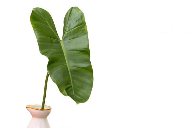 Feuilles vertes d'un vase sur fond blanc et espace de copie.