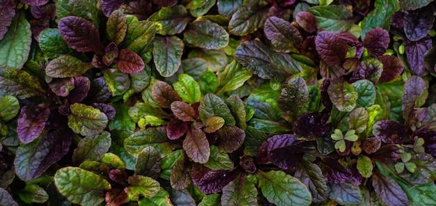 Feuilles vertes et violettes sur un buisson