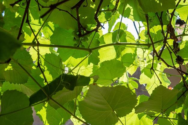 Feuilles de vigne d'une belle vigne formant un fond naturel. mise au point sélective.