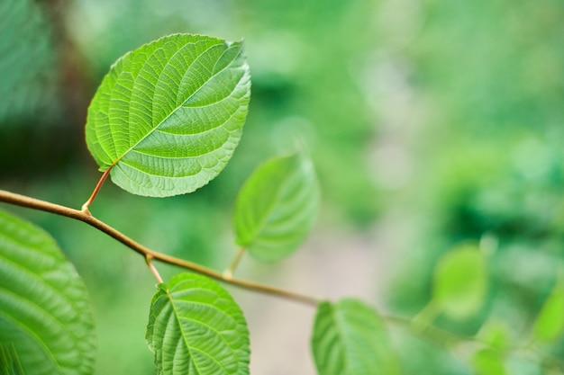 Feuilles de vigne. feuilles de vigne vertes au jour de septembre ensoleillé dans le vignoble. bientôt la récolte d'automne des raisins pour la fabrication du vin, de la confiture et du jus.