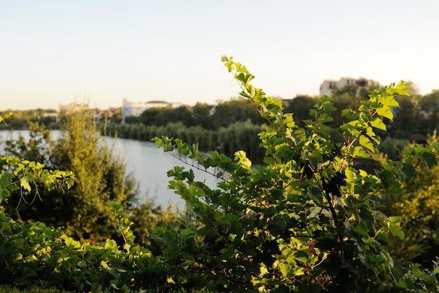 Feuilles de vigne sur le fond de la rivière