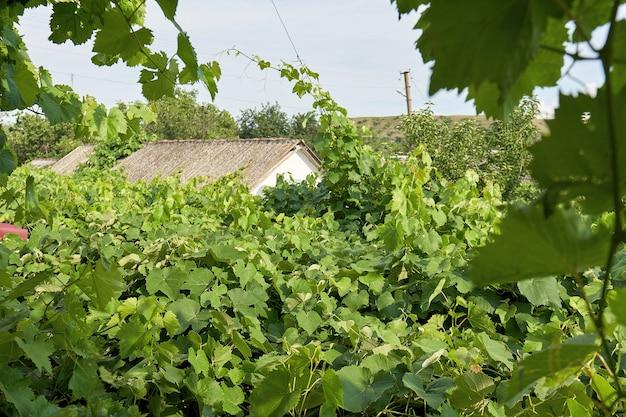 Les feuilles de vigne vertes sont utilisées comme toit ou comme auvent