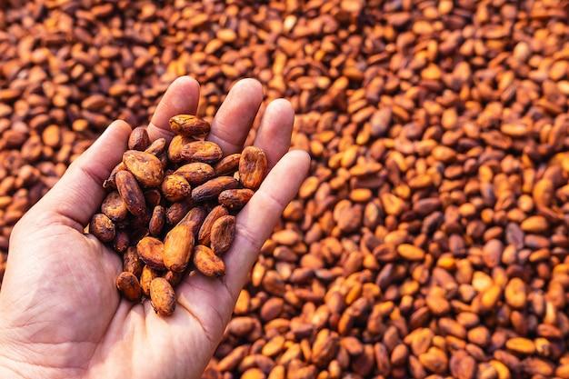 Fèves de cacao bio séchant au soleil dans une ferme