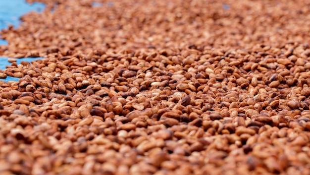 Fèves de cacao biologiques séchant au soleil dans une ferme