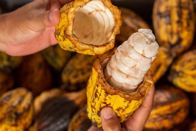Fèves de cacao et gousse de cacao