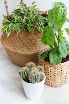 Ficus benjamin dans un panier de paille, maranta kerchoveana et cactus sur la table