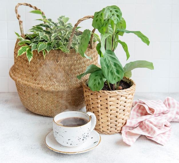 Ficus benjamin dans un panier de paille, maranta kerchoveana et tasse de café sur la table
