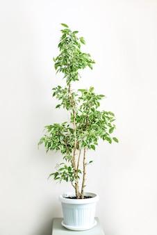 Ficus benjamin avec des feuilles vertes et blanches dans un portrait de plante d'intérieur en pot blanc