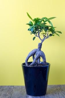 Ficus ginseng sur fond jaune