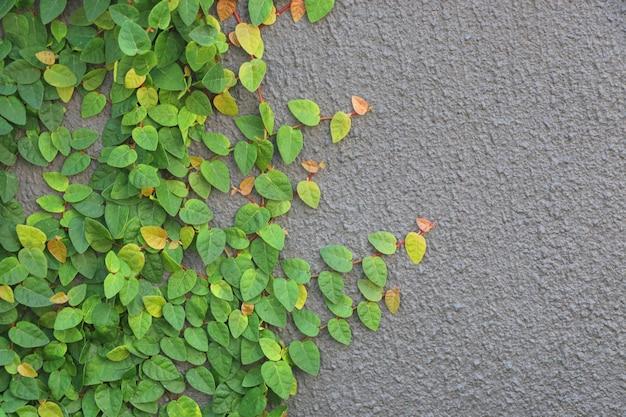 Ficus pumila feuilles fraîches sur le mur couleur gris fond design et décoration à la maison