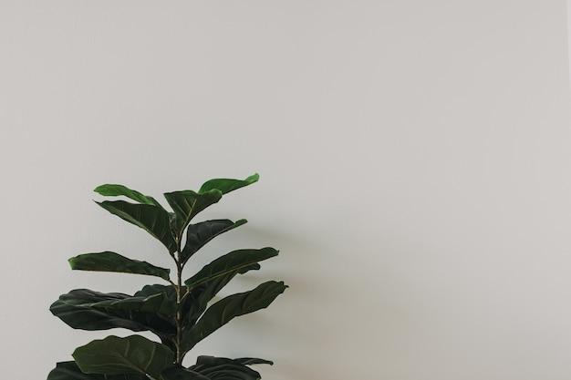 Fiddle figuier maison sur fond de mur blanc