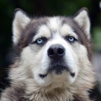 Fier beau jeune chien husky avec tête de profil assis dans le jardin