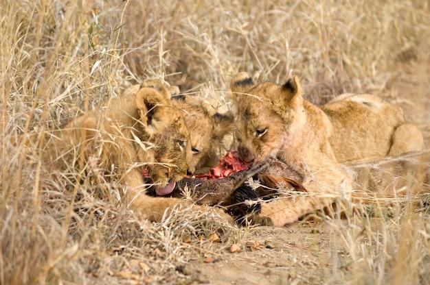 Fierté de lion mangeant une girafe
