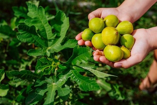 Figues fraîches dans les mains des femmes