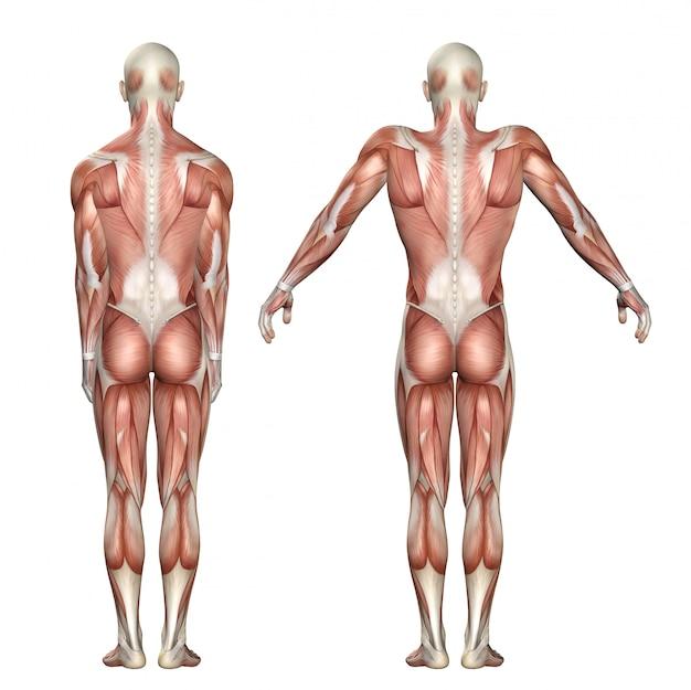 Figure médicale 3d montrant l'élévation de l'omoplate et la dépression