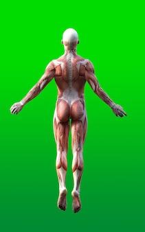 Figures masculines posent avec la peau et le muscle carte isolent sur fond vert