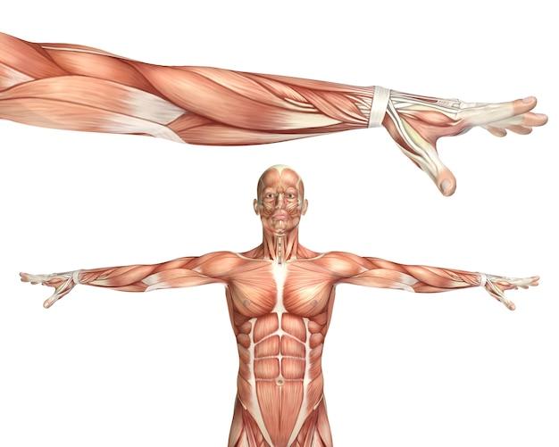 Figurine médicale 3d montrant la pronation du coude