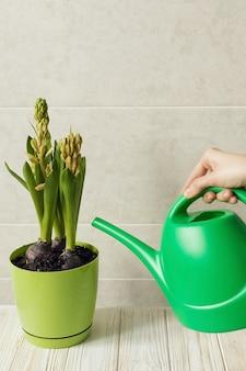 Fille d'arrosage plante d'intérieur jacinthe, concept de printemps vert frais