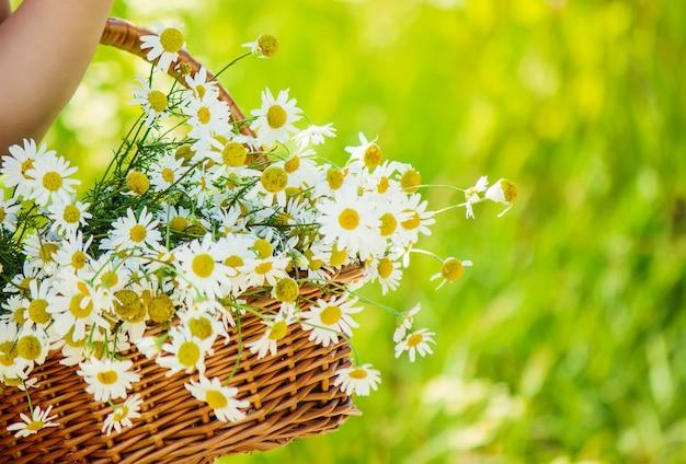Fille à la camomille. mise au point sélective. fleurs nature.